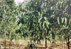 Litsea glutinosa bark