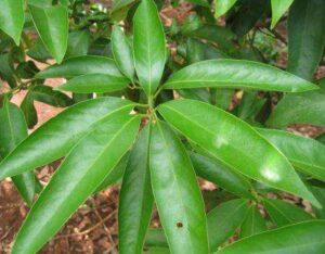 litsea leaves